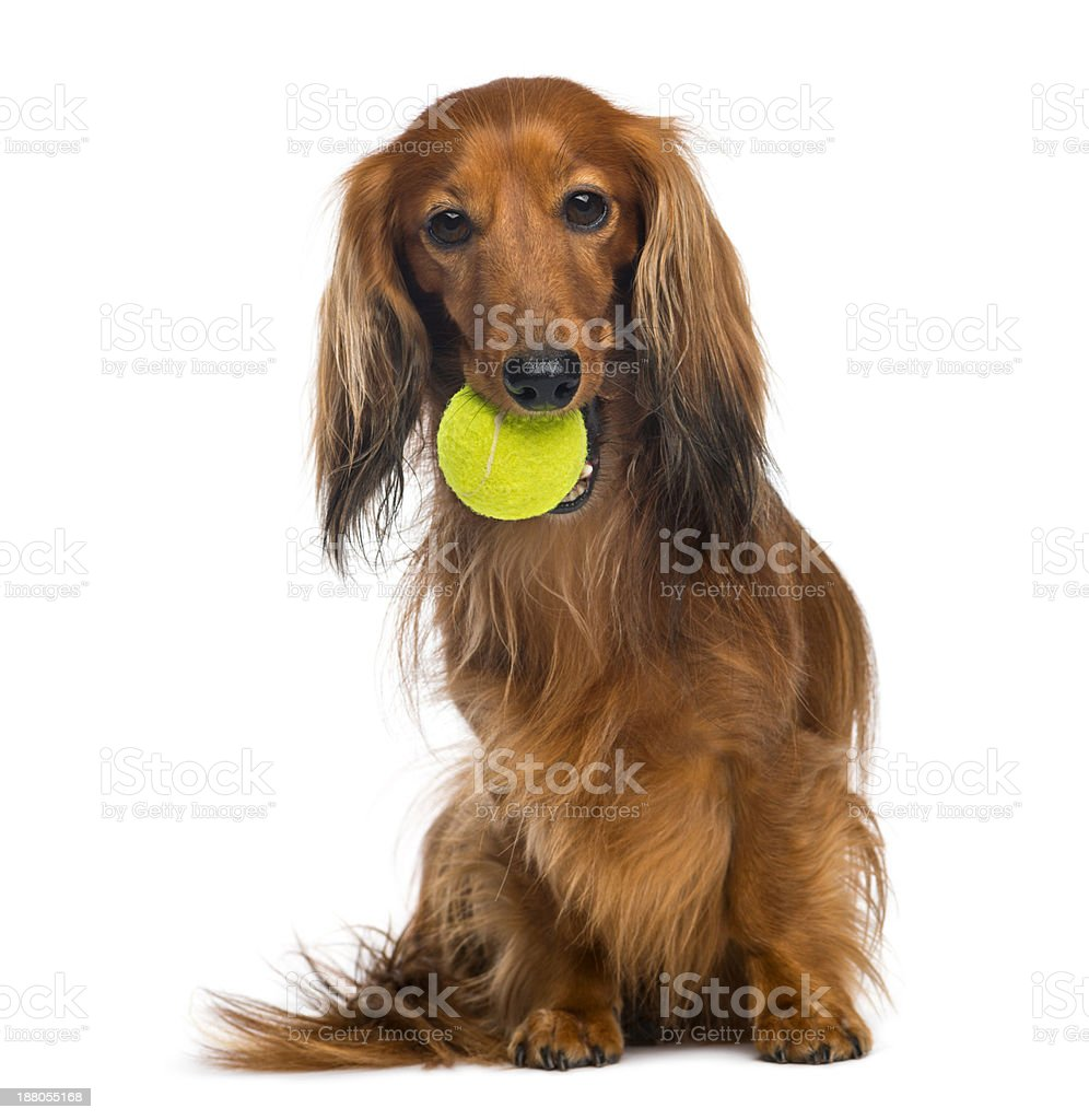 Dachshund,  sitting with tennis ball in mouth against white background royalty-free stock photo