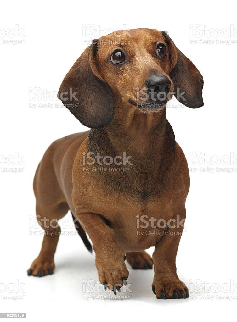 Dachshund staying on the white background stock photo