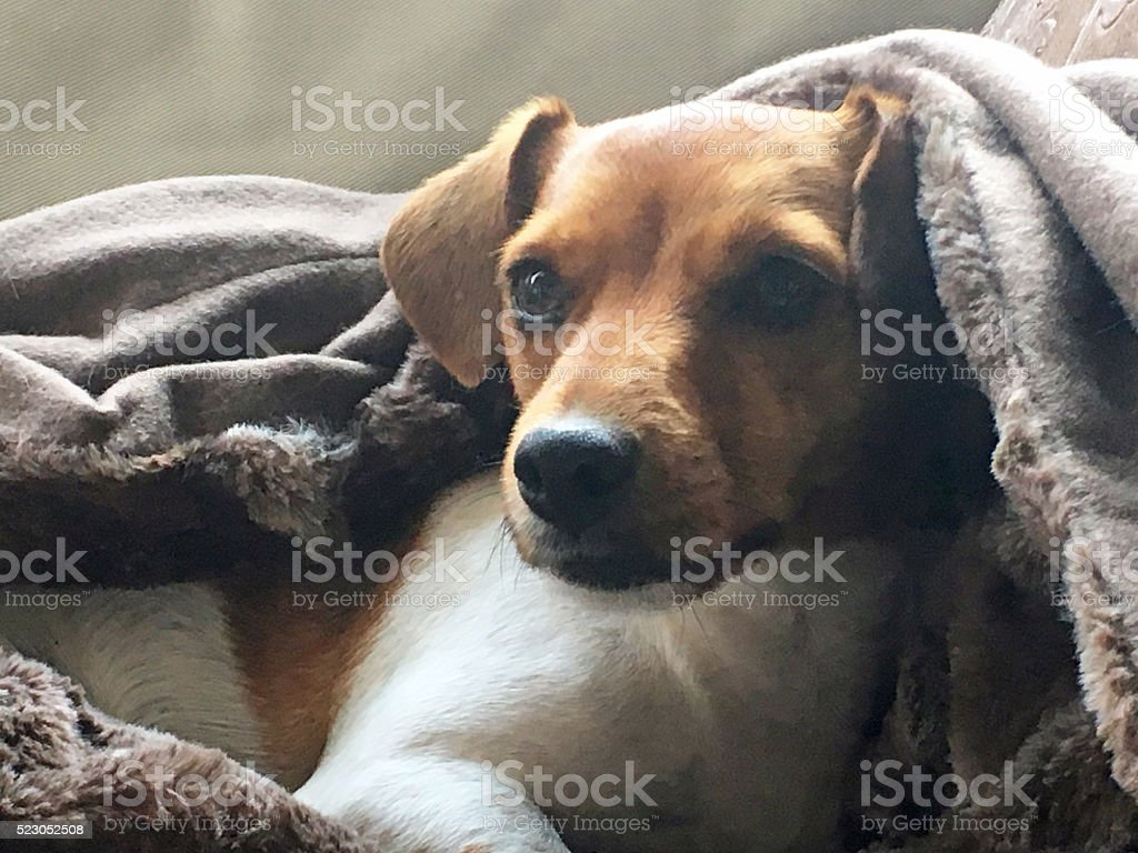 Dachshund under a blanket stock photo