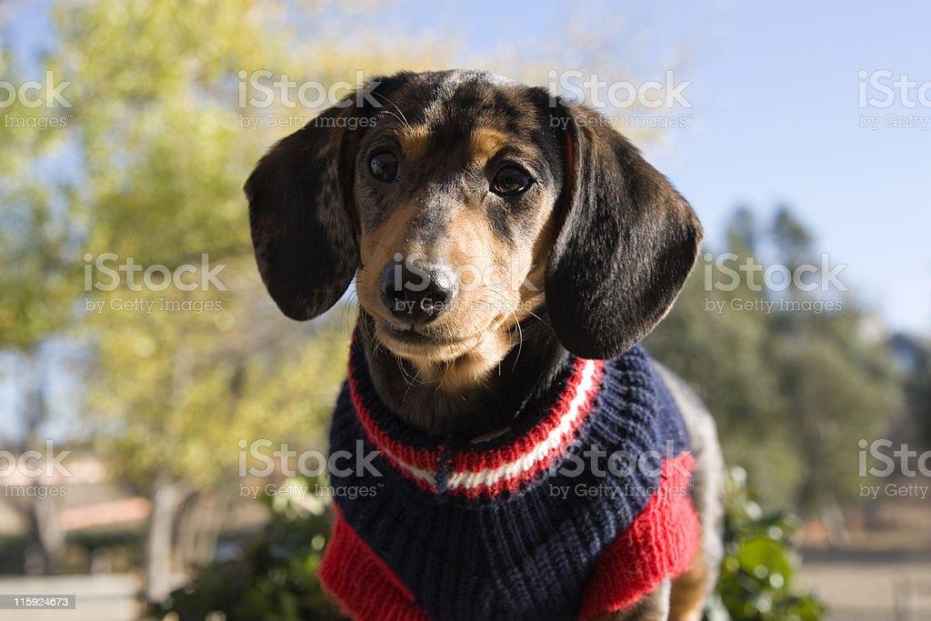 Dachshund Wearing Sweater royalty-free stock photo