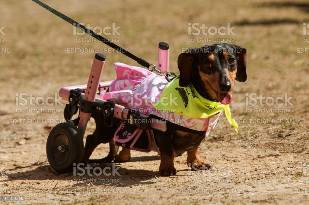 Dachshund With Paralyzed Hind Legs Wears Attached Wheels At Event stock photo