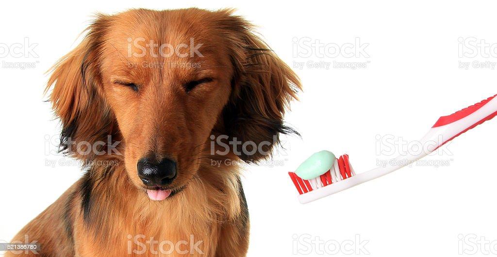 Dachshund with toothbrush stock photo