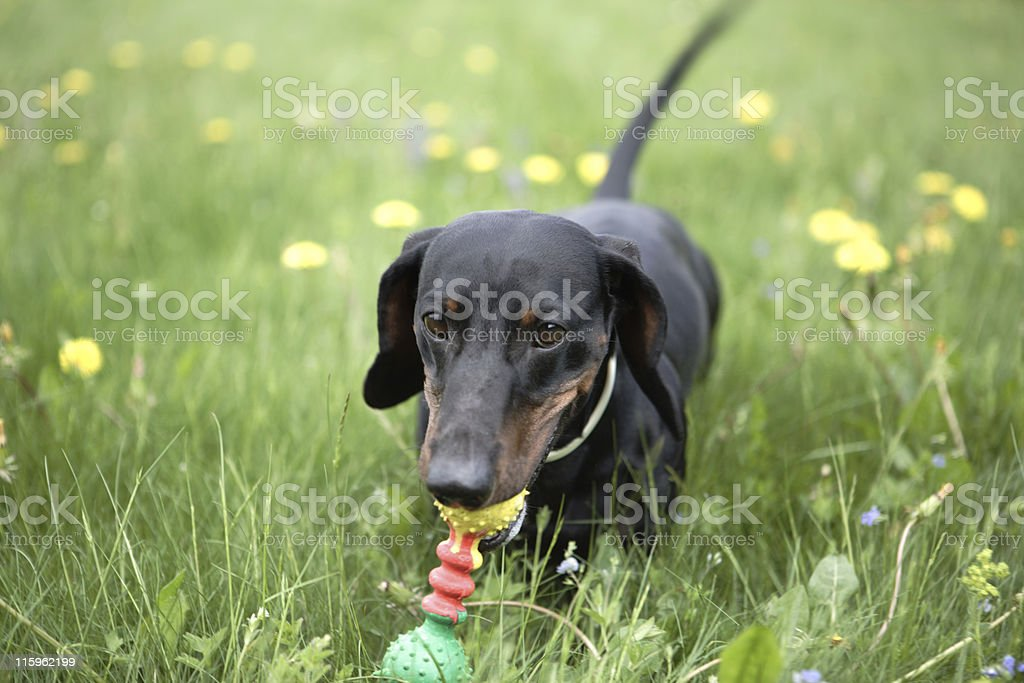 Dachshund with toy in grass royalty-free stock photo