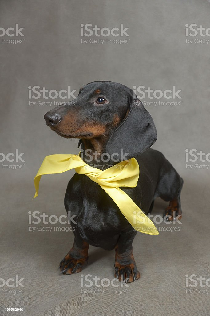 Dachshund with yellow kerchief is sitting royalty-free stock photo