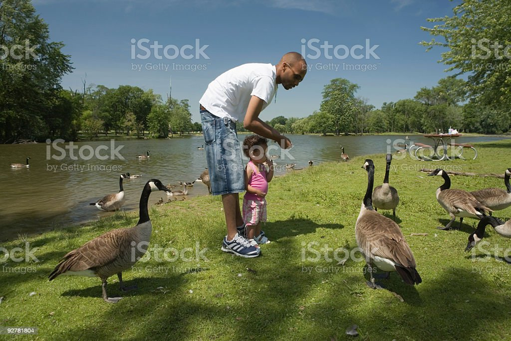 Dad and Baby Feeding Geese in the Park stock photo