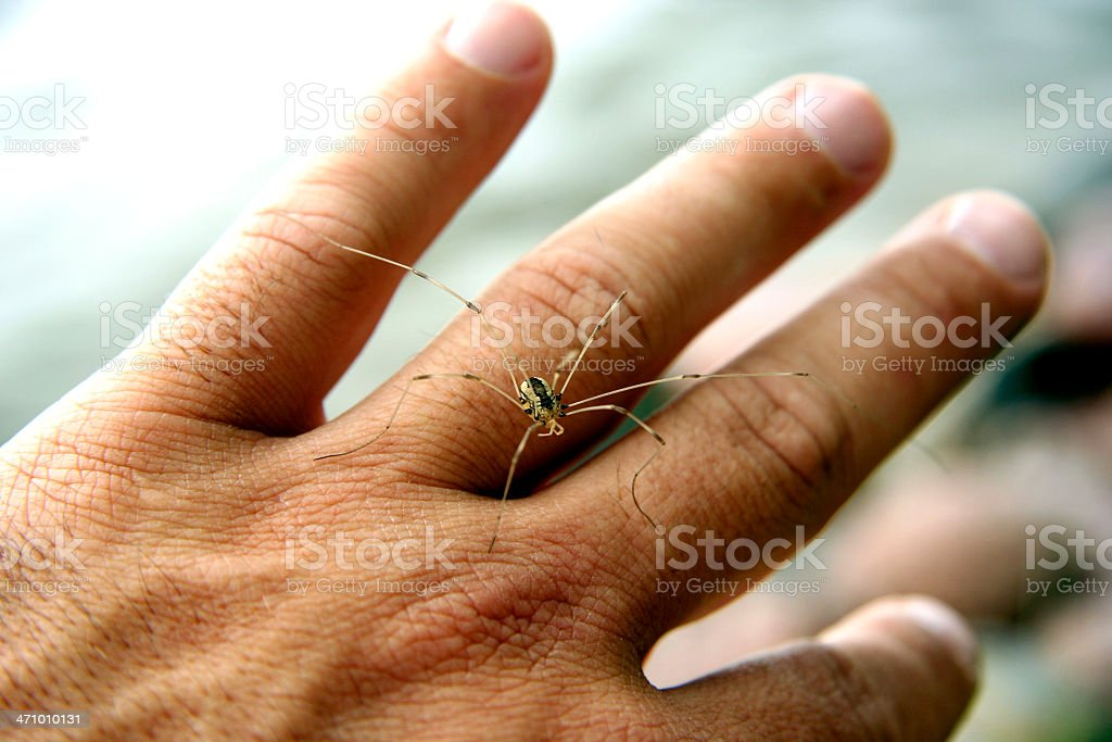 Daddy Long Leg...ON MY HAND! stock photo