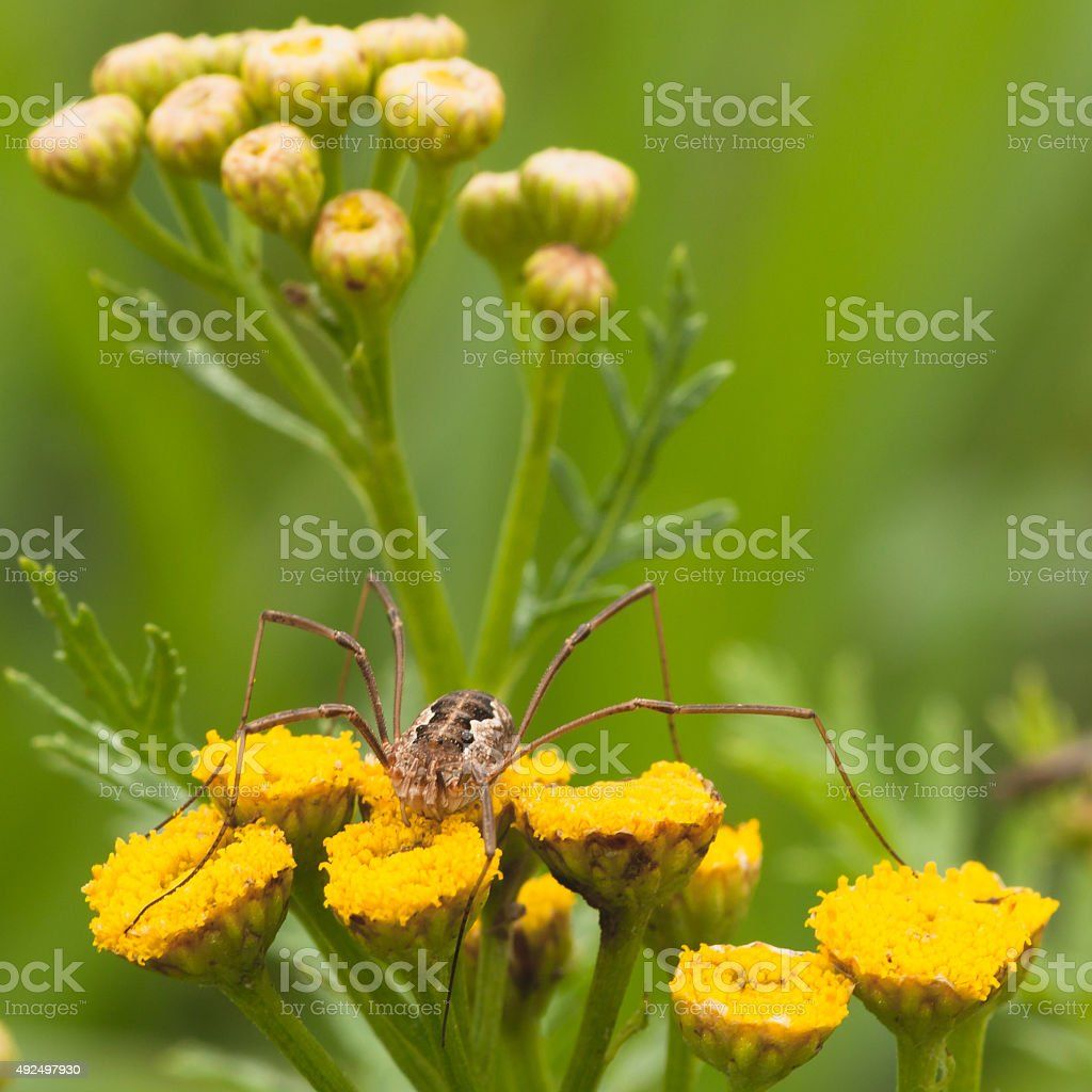 Daddy Long Legs on Tansy Flower stock photo