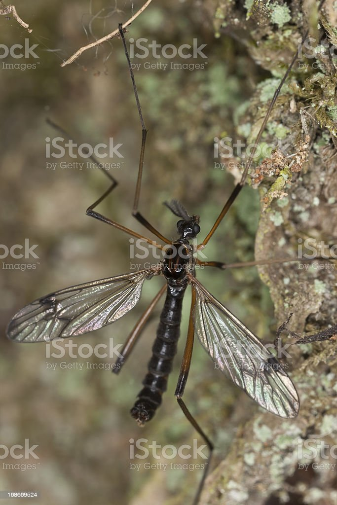Daddy longlegs on wood, macro photo royalty-free stock photo