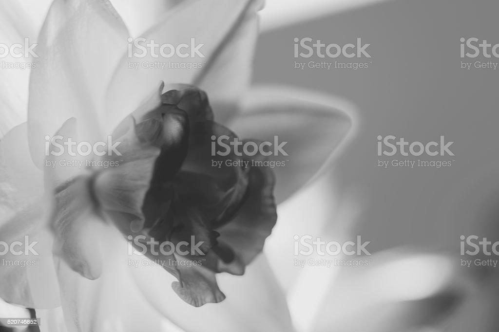 Daff black and white stock photo