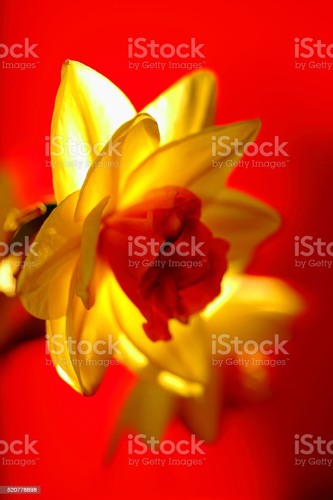 Daff on bright red background stock photo