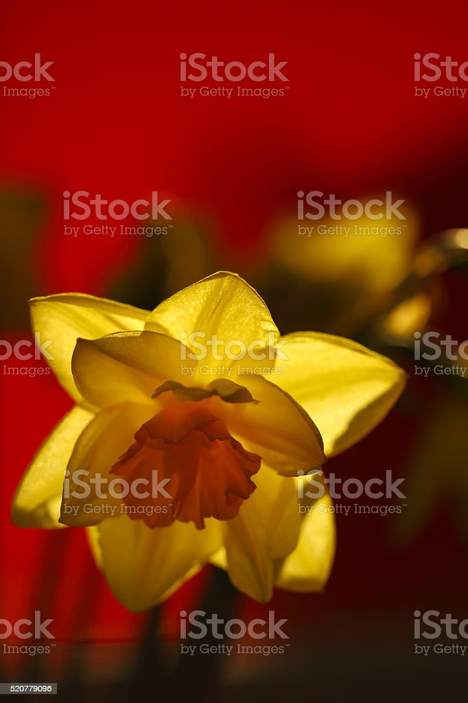Daff on red background stock photo