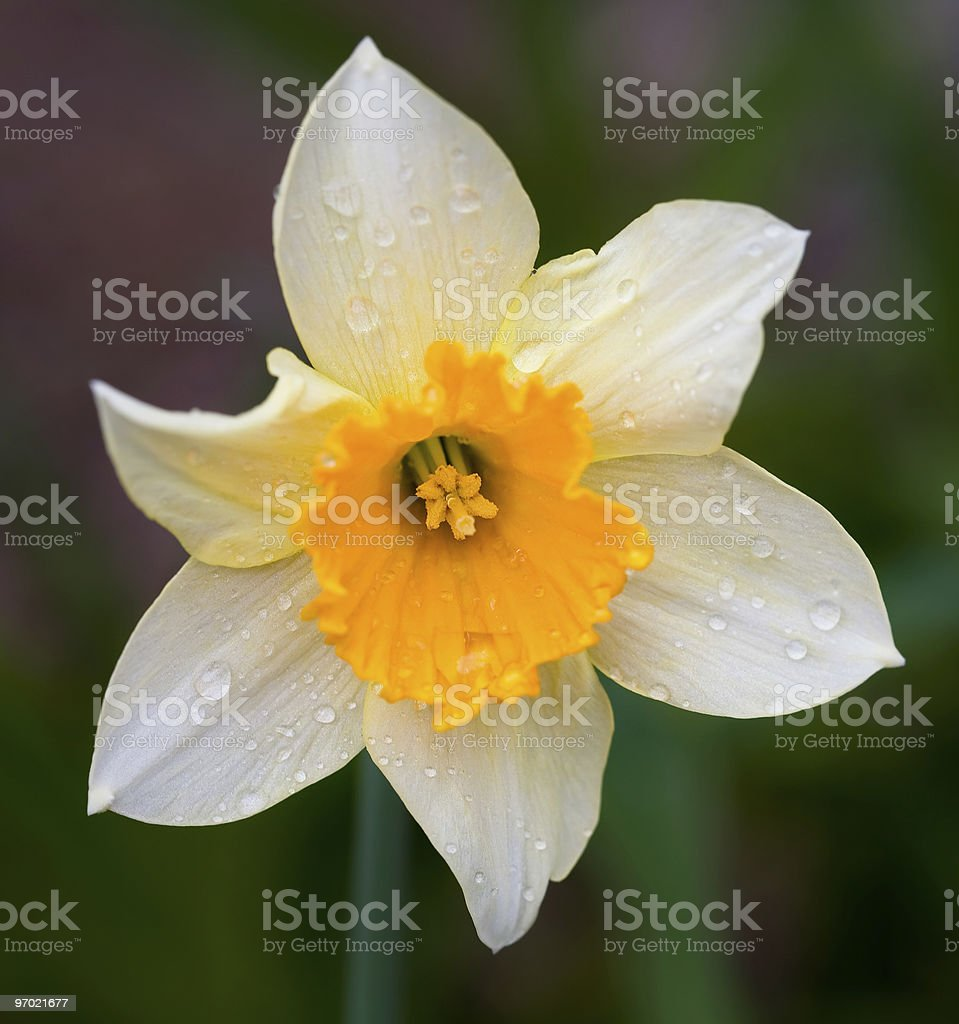 Daffodil after the rain royalty-free stock photo