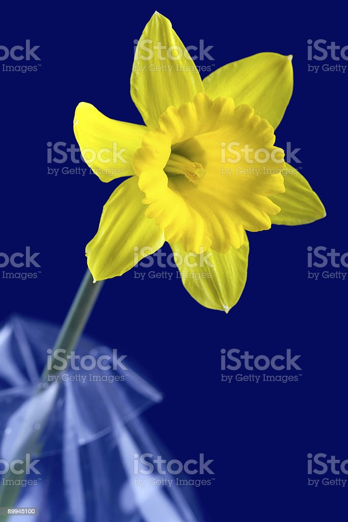 Daffodil and blue background stock photo