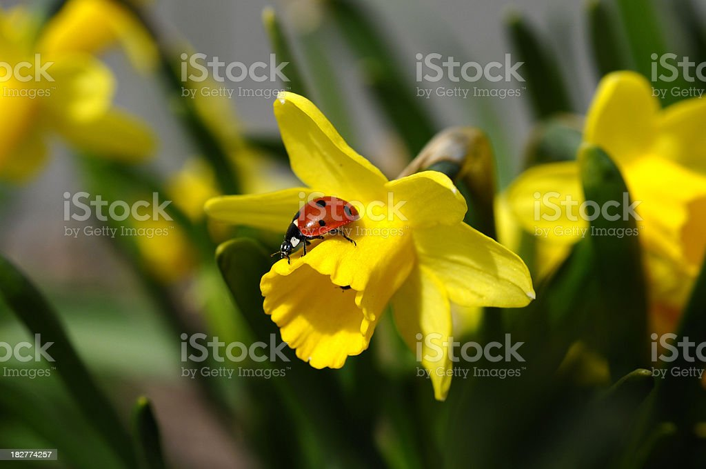 Daffodil and Ladybug, royalty-free stock photo