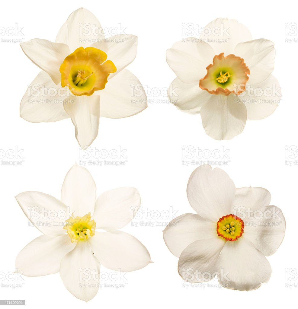 Daffodil and narcissus collection isolated royalty-free stock photo