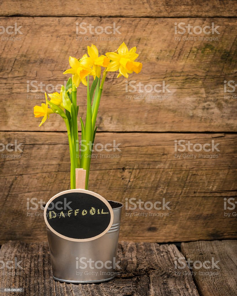 Daffodil and Sign stock photo