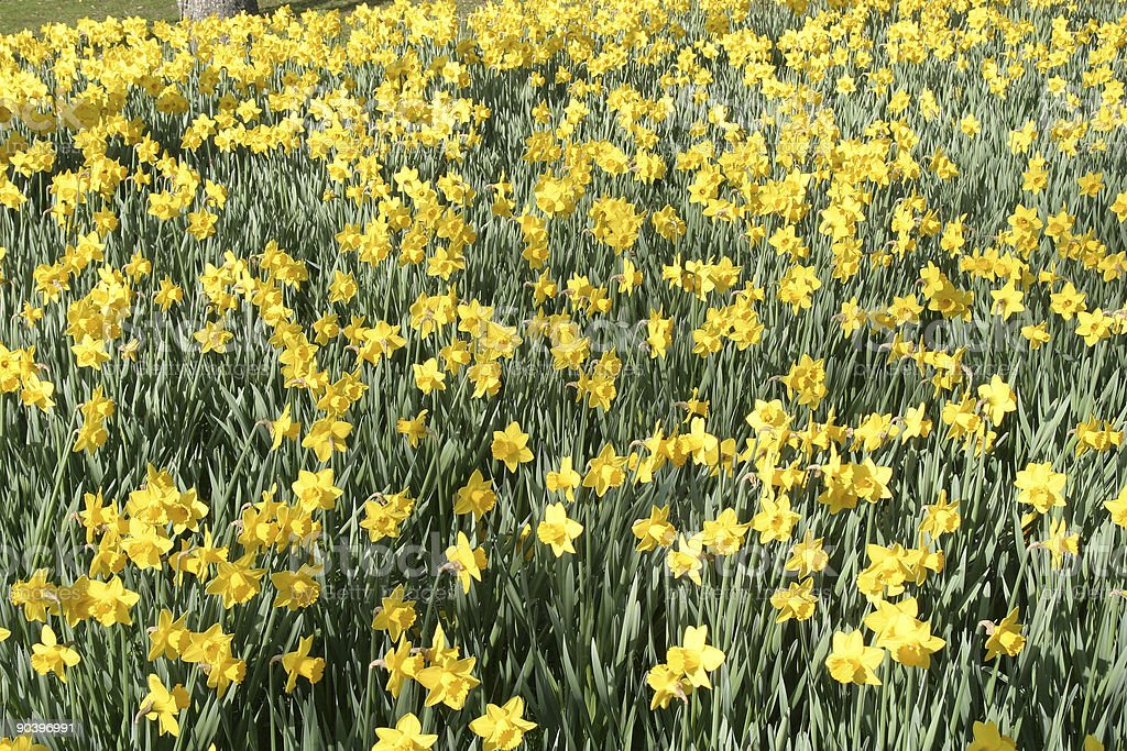 Daffodil Background stock photo