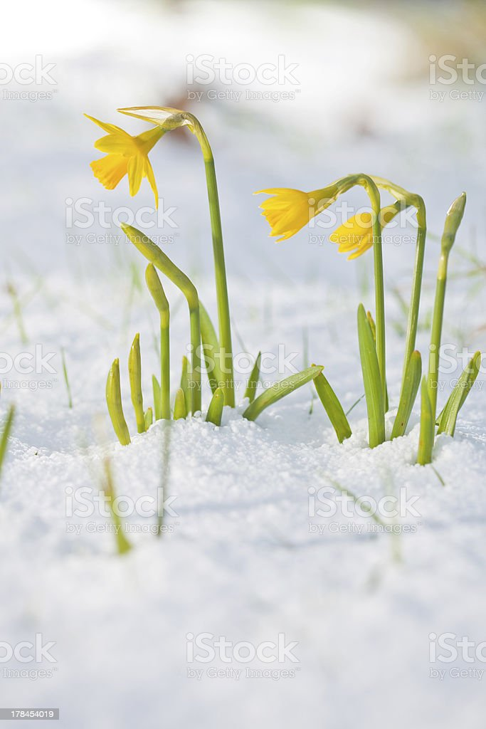Daffodil blooming through the snow stock photo