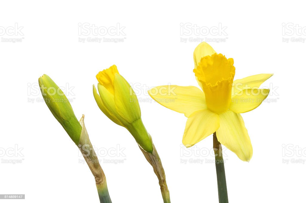 Daffodil buds and flower stock photo