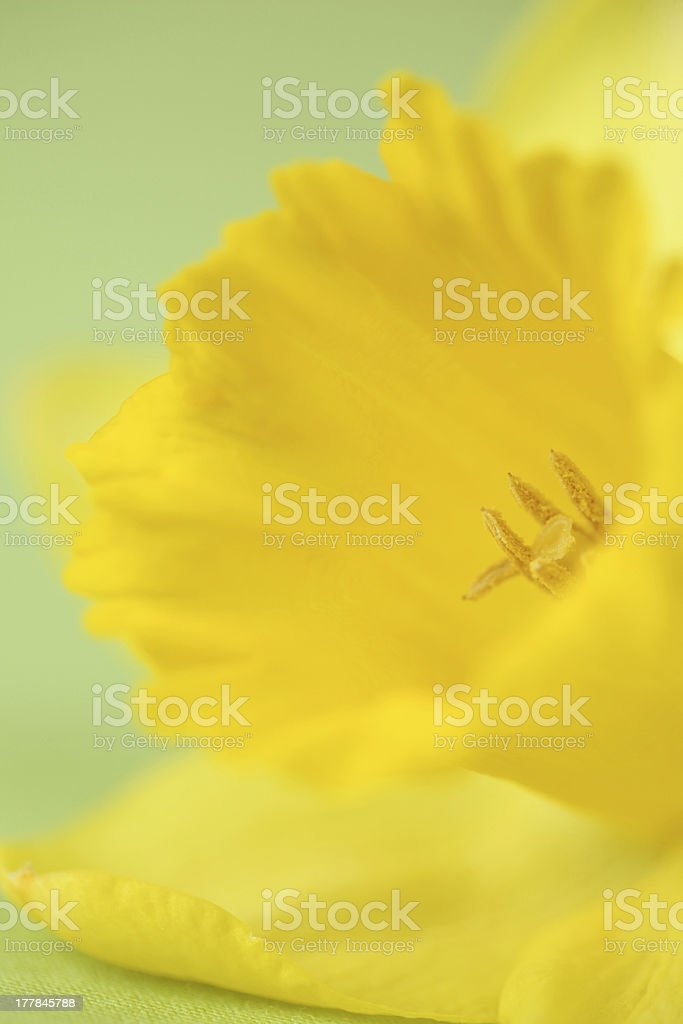 Daffodil detail royalty-free stock photo