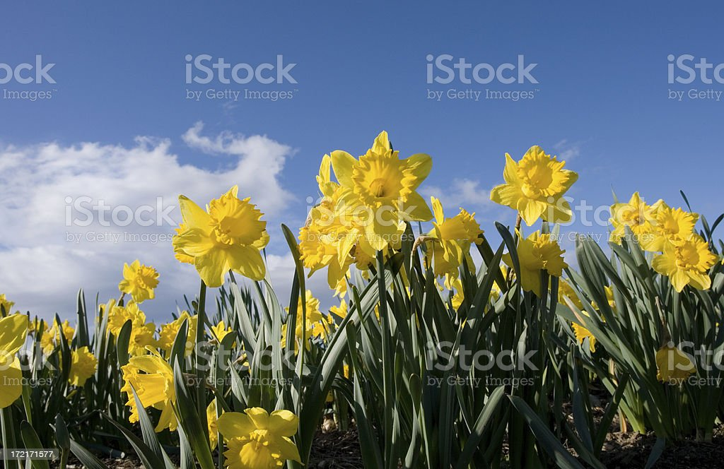 Daffodil field in Victoria, B.C. - Sign of Spring royalty-free stock photo