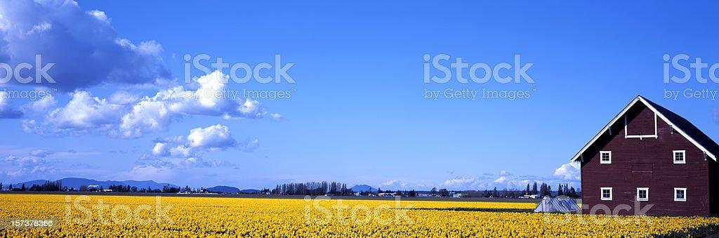 Daffodil field stock photo