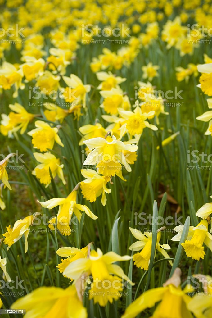Daffodil field royalty-free stock photo