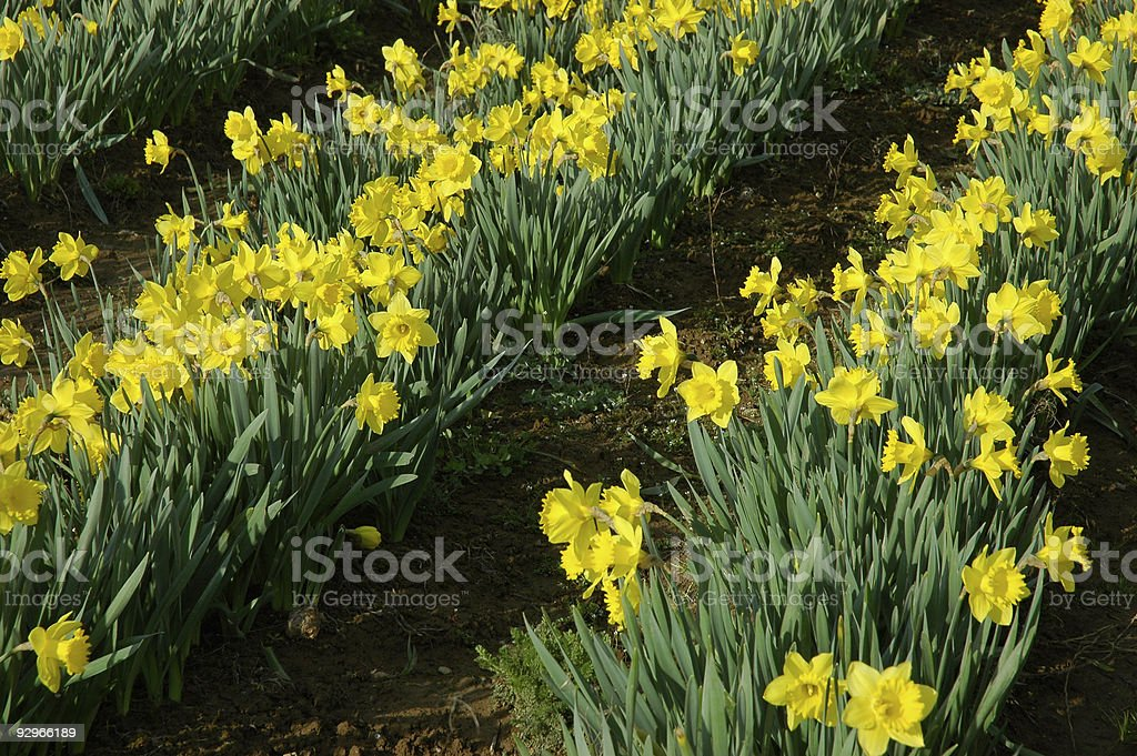 Daffodil field* royalty-free stock photo