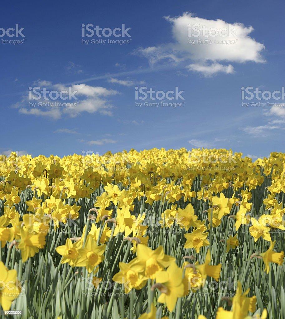 Daffodil Field royalty-free stock photo