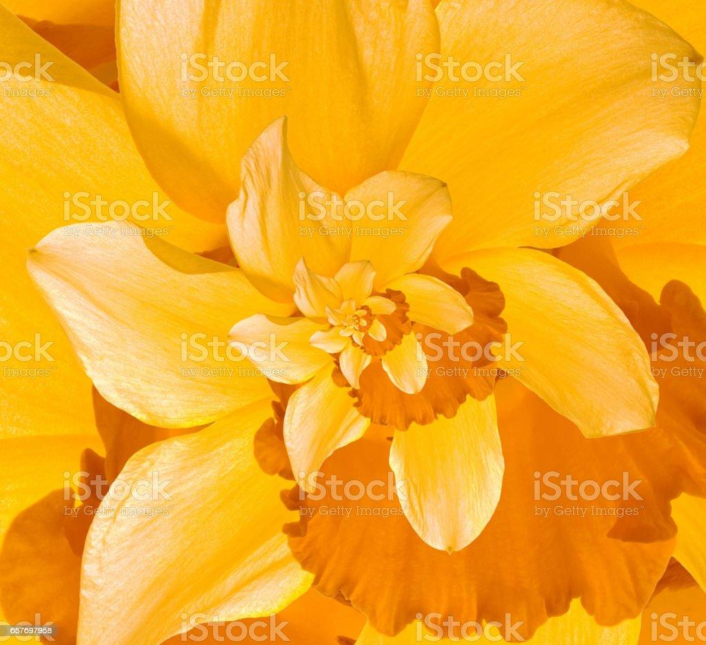 Daffodil Flower Droste stock photo
