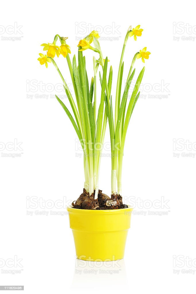 Daffodil flower in yellow pot royalty-free stock photo