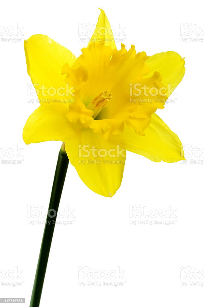 Daffodil Flower Isolated On White royalty-free stock photo