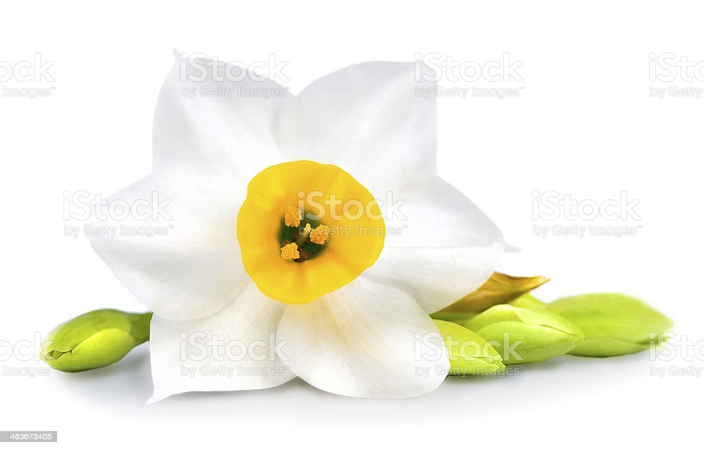 Daffodil Flower on White Background Isolated stock photo