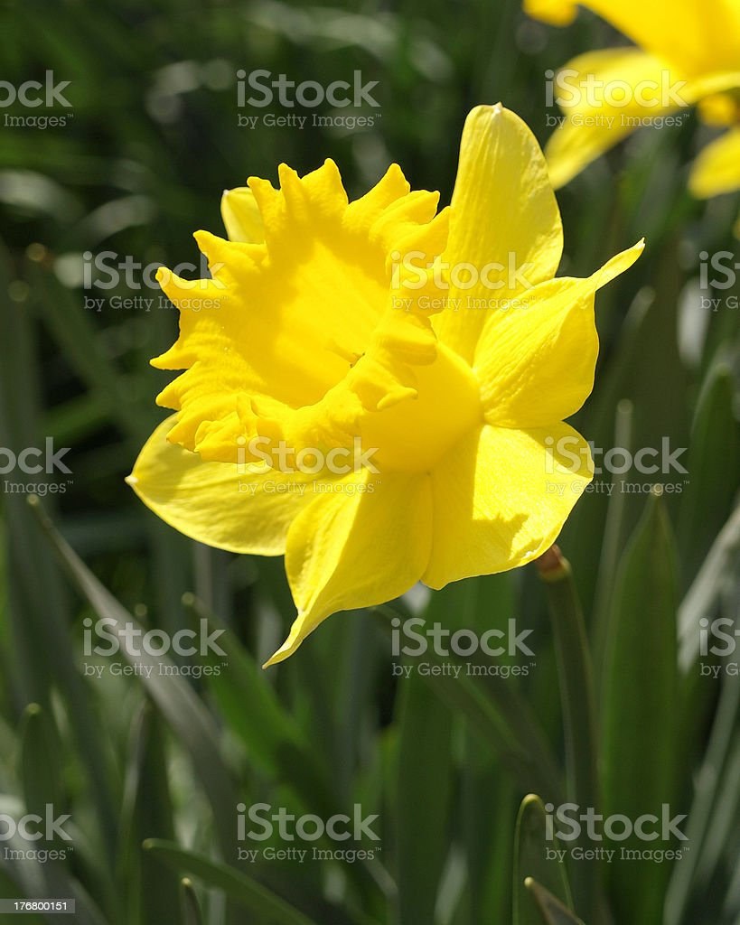 Daffodil Flower royalty-free stock photo