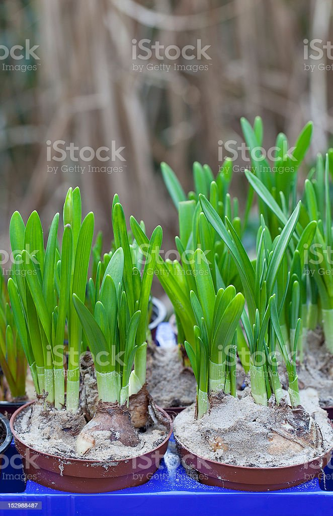 daffodil flowerbulbs royalty-free stock photo