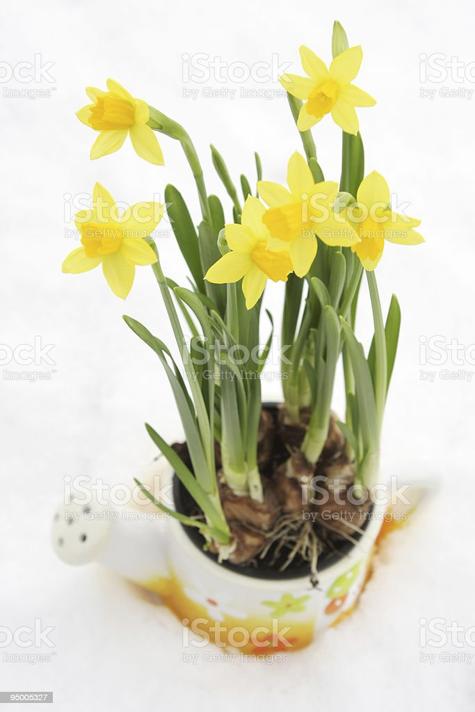 Daffodil flowerpot in snow royalty-free stock photo