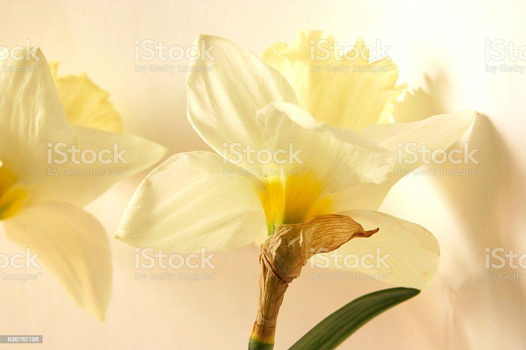 Daffodil flowers stock photo