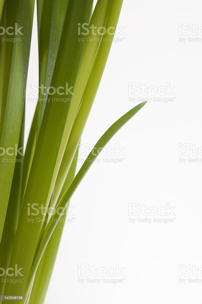 Daffodil green sticking out royalty-free stock photo