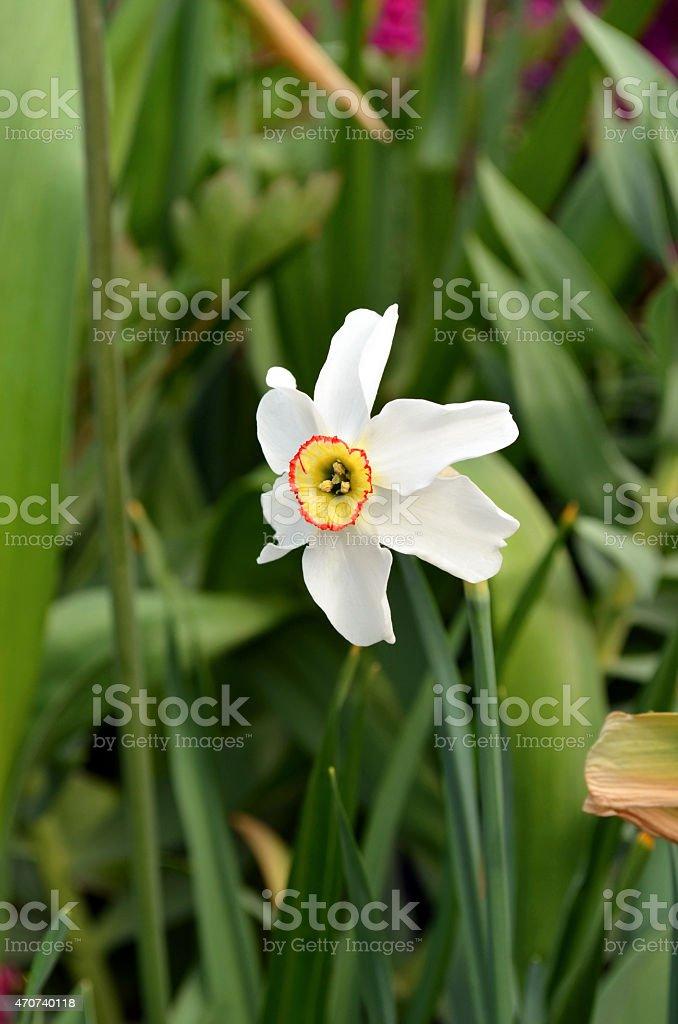 Daffodil in Spring stock photo