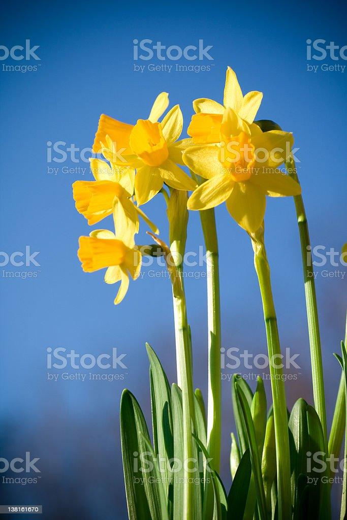 Daffodil in sunshine royalty-free stock photo