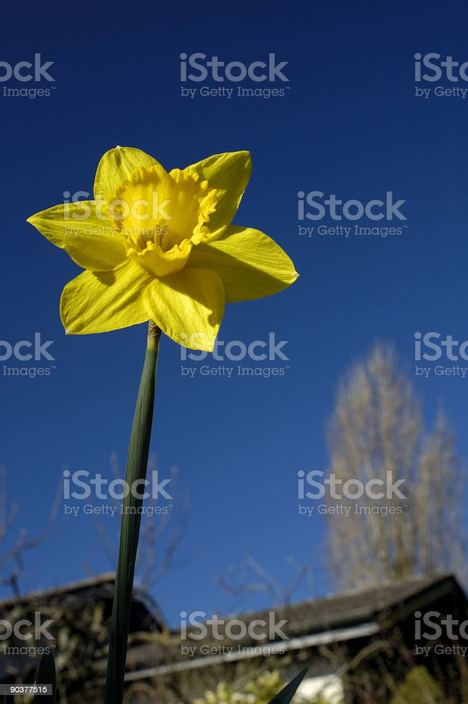 Daffodil in the garden royalty-free stock photo