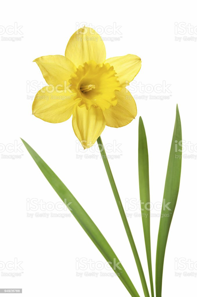 Daffodil isolated on white royalty-free stock photo