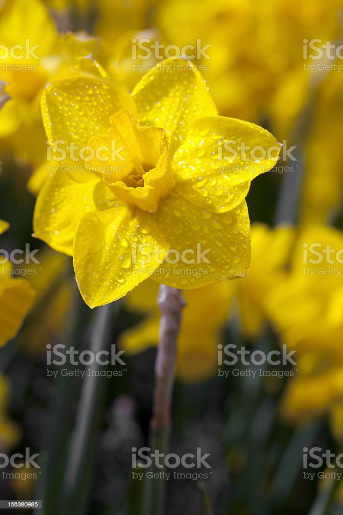 Daffodill kissed by the sun stock photo