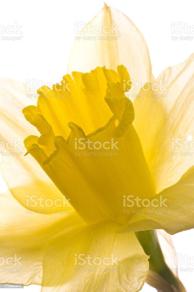 Daffodil macro series royalty-free stock photo