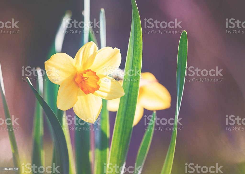 Daffodil  [Narcissus pseudonarcissus] in spring stock photo