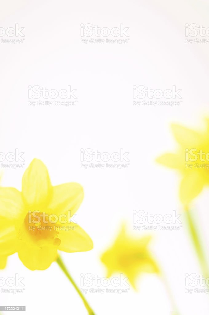 daffodil on white royalty-free stock photo