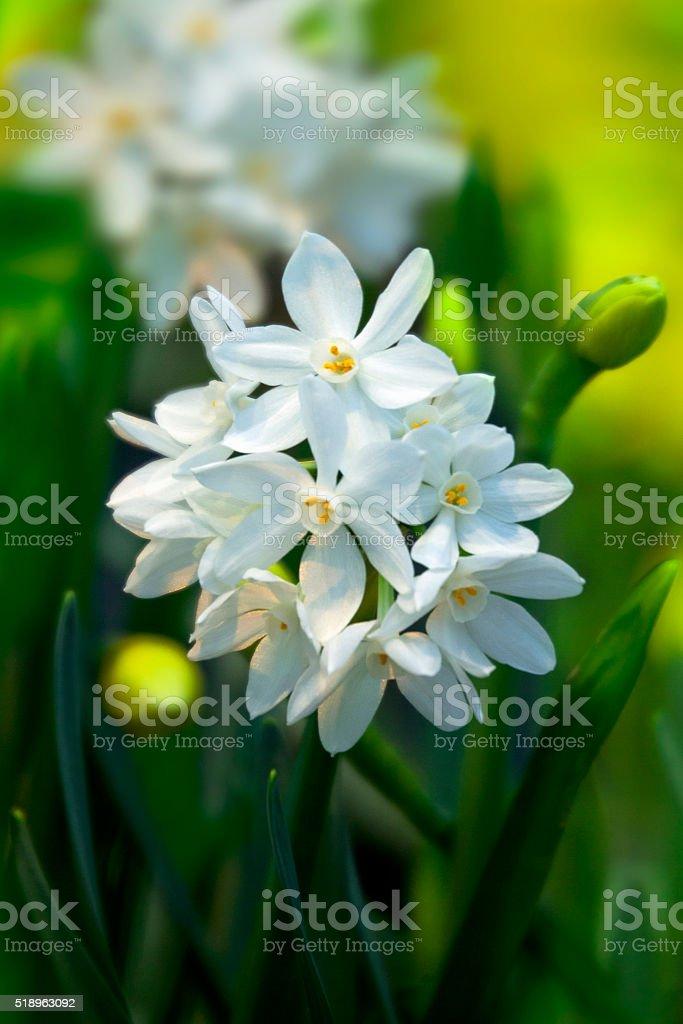 Daffodil Paperwhite Ziva Tazetta stock photo