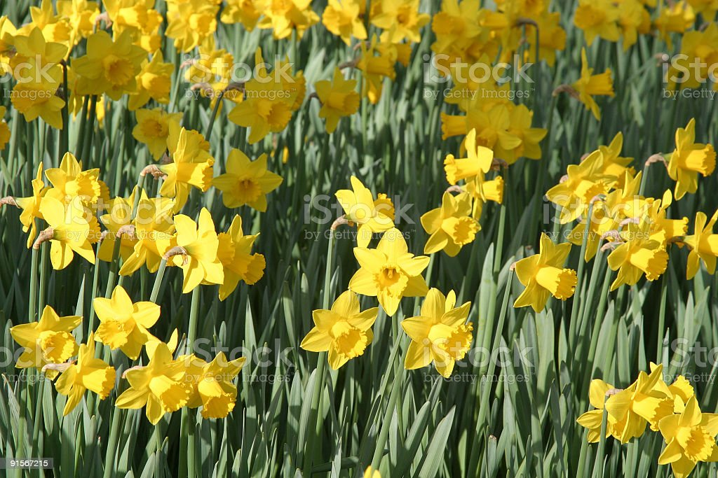 Daffodil Patch stock photo