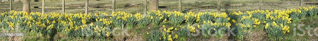 daffodil stock photo