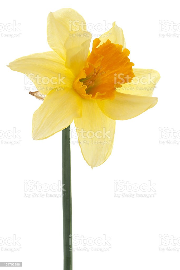 daffodil royalty-free stock photo